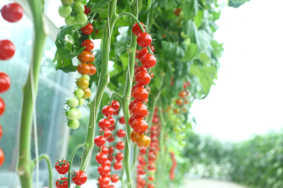 groeien tomatenplanten