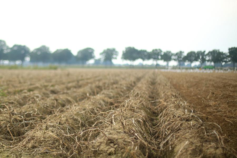 aardappelveld voor het rooien