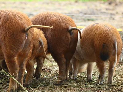 varkenskontjes