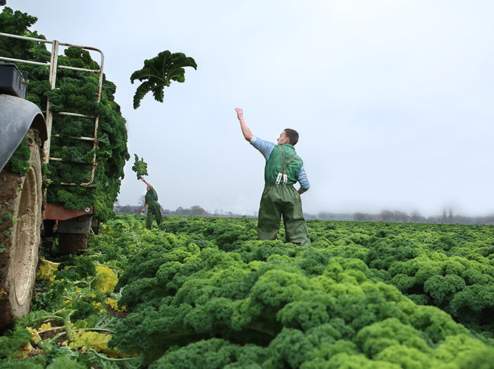 Boerenkool oogsten