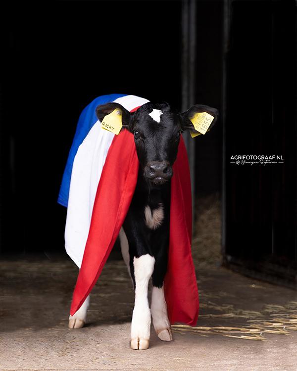 koe met nederlandse vlag