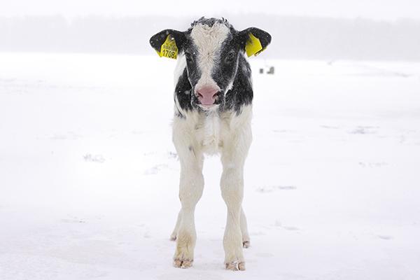 koeien sneeuw